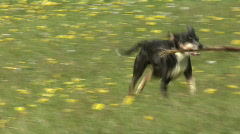 Dog playing fetch Stock Footage