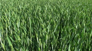 Wheat crop growing in on a farm in Northamptonshire England Stock Footage
