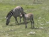 Zebra baby Stock Footage