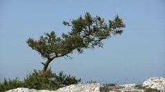 Pine tree - stock footage