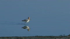American Avocet Stock Footage