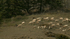 Rocky Mountain Sheep 1 Stock Footage