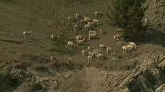Rocky Mountain Sheep 2 Stock Footage