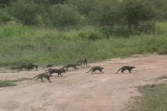 Mongoose Tarangire Stock Footage