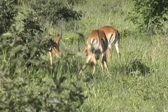 Impala Tarangire Stock Footage