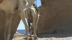 camel1 - stock footage