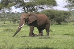 Elephant in Tarangire - stock footage