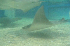 A Group Of Swimming Sting Rays And Other Fish Stock Footage