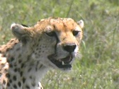 Stock Video Footage of Cheetah resting