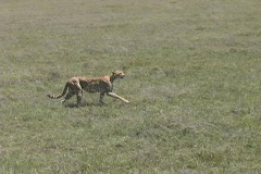 Cheetah walking Stock Footage