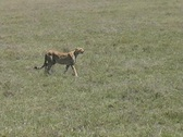 Stock Video Footage of Cheetah walking