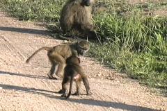 Baboon babies - stock footage