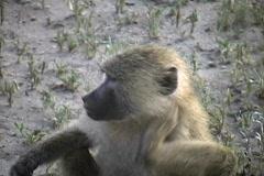Baboon Tarangire Stock Footage