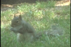 Squirrel Eating6 - stock footage