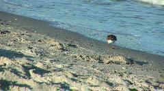 Shore bird Stock Footage
