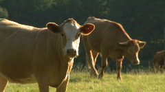 Livestock 01, HD Stock Footage
