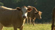 Stock Video Footage of Livestock 01, HD