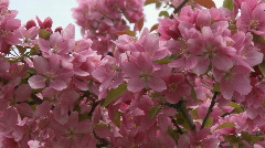 Apple Blossoms Ornamental 4 Stock Footage