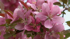 Apple Blossoms Ornamental 3 Stock Footage