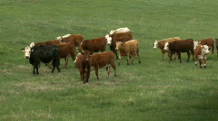 Cows in pasture 4 - stock footage
