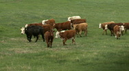 Stock Video Footage of Cows in pasture 4