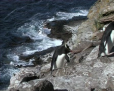 Rockhopper penguin(s) Stock Footage