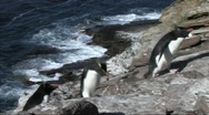 Stock Video Footage of Rockhopper penguin(s)