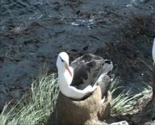 Black-browed albatross Stock Footage