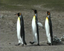 King penguins Stock Footage