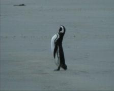 Magellanic penguins Stock Footage