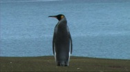 Stock Video Footage of King penguins