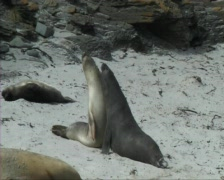 Elephant seal Stock Footage