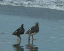Flightless steamer duck - stock footage