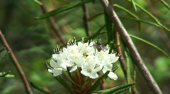 Fly on ledum palustre plant in a forest Stock Footage