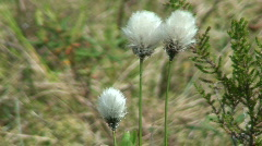 Cotton-grass plants in a forest Stock Footage