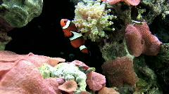 Coral salt water aquarium clown fish P HD Stock Footage
