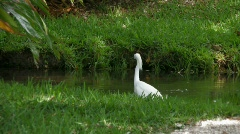 White Egret and Duck in a stream Stock Footage
