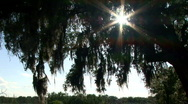 Silhoutte tree moss Stock Footage
