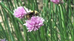Bumblebee and chive flowers Stock Footage