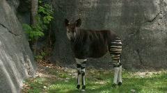 Okapi standing by rocks Stock Footage