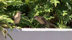 Lintujen viserrystä Arkistovideo