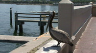 Pelican Flys Away Stock Footage
