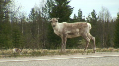 Reindeers on a road in Finnish Lapland 1 - stock footage