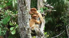 Borneo Proboscis Monkey 09 + Baby - stock footage