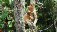 Stock Video Footage of Borneo Proboscis Monkey 09 + Baby