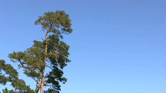 Pine tree under a blue sky during summer Stock Footage