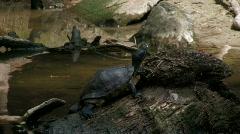 Turtle on rock in creek Stock Footage