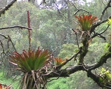 Bromeliads on a branch - stock footage