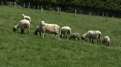 Black and white sheep grazing Stock Footage
