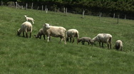 Stock Video Footage of Black and white sheep grazing